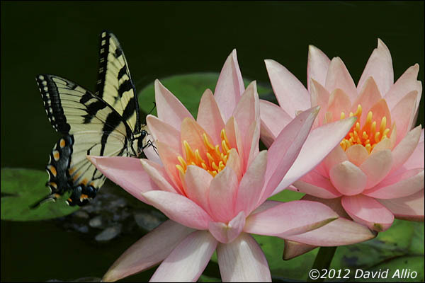 Butterfly on Water Lilies | ©2012 David Allio