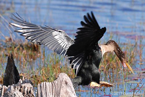 Repositioning Anhingidae Anhinga anhinga St Marks National Wildlife Refuge Walkulla County Florida