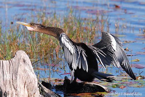 Breeding Plumage Anhingidae Anhinga anhinga St Marks National Wildlife Refuge Walkulla County Florida