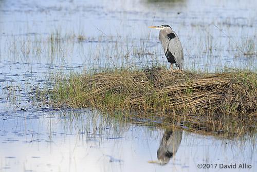 Reflection Ardeidae Ardea herodias Great Blue Heron St Marks National Wildlife Refuge Walkulla County Florida