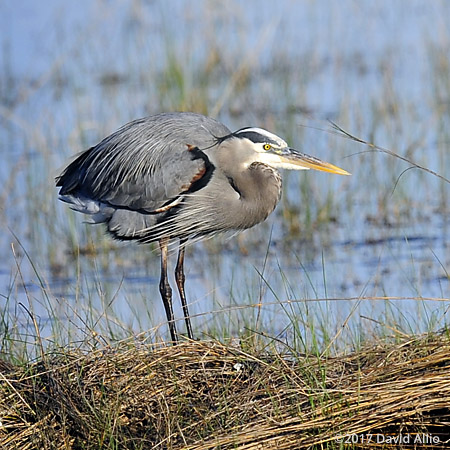 Afternoon Sun Ardeidae Ardea herodias Great Blue Heron St Marks National Wildlife Refuge Walkulla County Florida