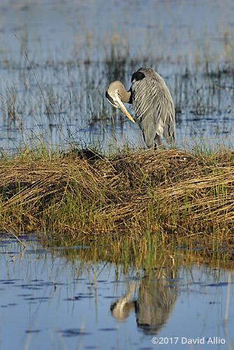 Preening Heron Ardeidae Ardea herodias Great Blue Heron St Marks National Wildlife Refuge Walkulla County Florida