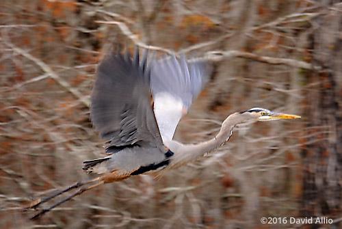 Great Blue Heron Ardea herodias Lake Miccosukee Jefferson County Florida