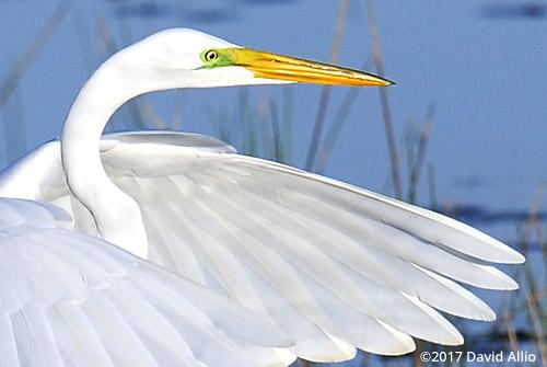 Ardeidae Ardea alba Great Egret St Marks National Wildlife Refuge Walkulla County Florida