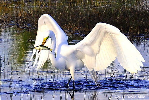 Spear Fishing Ardeidae Ardea alba Great Egret St Marks National Wildlife Refuge Walkulla County Florida