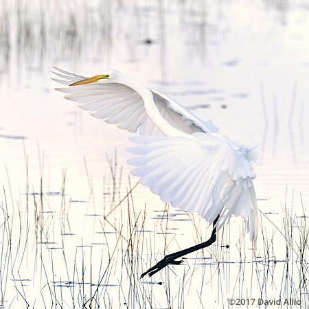 Ardeidae Ardea alba Great Egret St Marks National Wildlife Refuge Walkulla County Florida