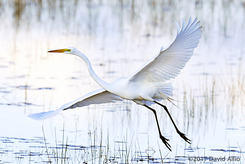 Wings Outstretched Ardeidae Ardea alba Great Egret St Marks National Wildlife Refuge Walkulla County Florida