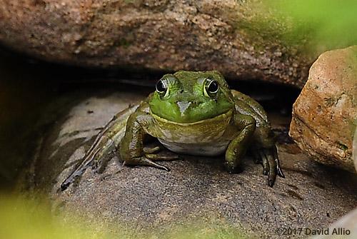 Ranidae Rana clamitans melanota Green Frog Back Yard Wildlife Upstate South Carolina