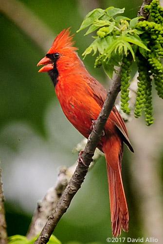 Male Northern Cardinal Cardinalidae Cardinalis cardinalis Back Yard Wildlife Upstate South Carolina