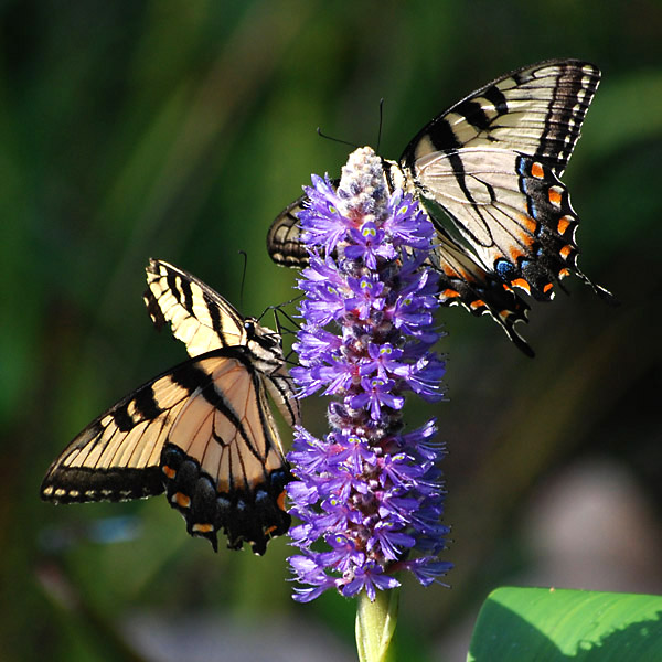 Papilionidae Papilio appalachiensis Appalachian Tiger Swallowtail Back Yard Wildlife Upstate South Carolina