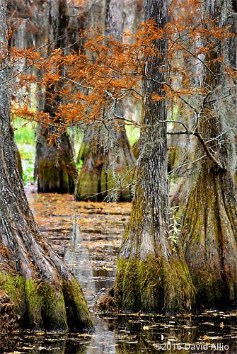 Fagaceae Quercus laurifolia laurel oaks Lake Miccosukee Jefferson County Florida