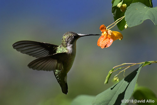 Trochilidae Archilochus colubris female Ruby-throated Hummingbird Balsaminaceae Impatiens biflora Jewelweed Lake Blalock South Carolina