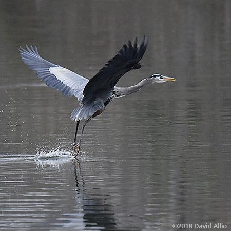 Skier Pelecaniformes Areidae Ardea herodias Great Blue Heron Upstate South Carolina