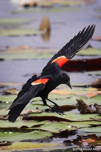Icteridae Agelaius phoeniceus Red-winged Blackbird St Marks National Wildlife Reserve Florida
