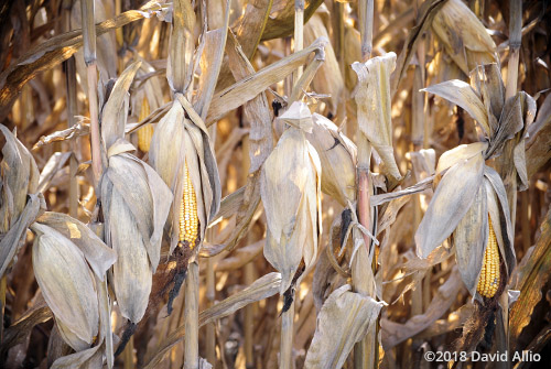 Open Trade Indiana Corn Fountain County Americana Collection