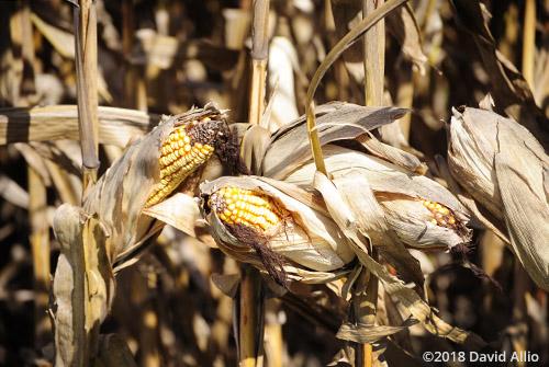 More Indiana Corn Fountain County Americana Collection