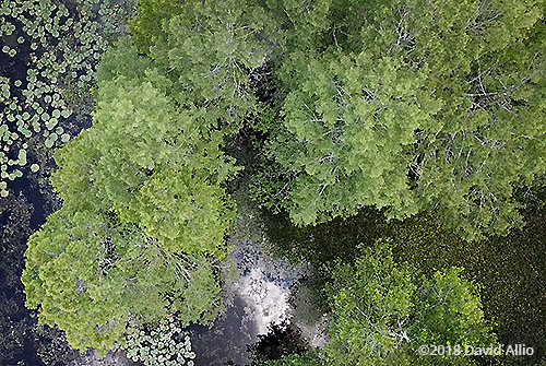 aerial photography Laurel Oaks Quercus laurifolia Lake Miccosukee Jefferson County Florida