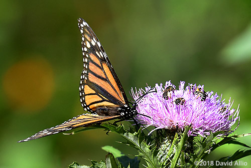 Nymphalidae Monarch Butterfly Danaus plexippus Asteraceae Cirsium altissimum Tall Thistle Lake Blalock South Carolina