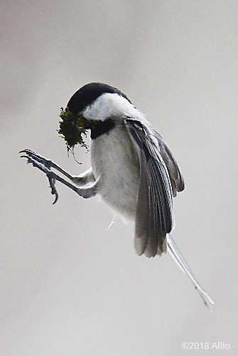 Glides Paridae Poecile carolinensis Carolina Chickadee Upstate South Carolina