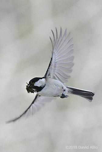 Jumps Paridae Poecile carolinensis Carolina Chickadee Upstate South Carolina