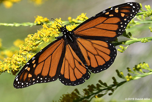 Nymphalidae Danaus plexippus Monarch Asteraceae Solidago Mexicana Seaside Goldenrod Butterflies Moths of North America verified accepted BAMONA Crawfordville Florida