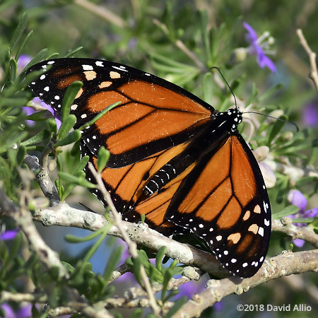 Nymphalidae Danaus plexippus Monarch butterfly St Marks National Wildlife Reserve Florida Americana Collection