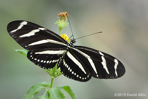 Nymphalidae Heliconius charithonia Zebra Longwing State butterfly of Florida Asteraceae Bidens pilosa Shepherds Needles verified accepted BAMONA Monticello Florida