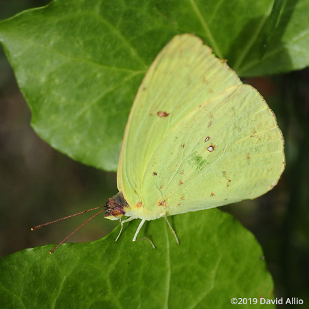 Stops Cloudless Sulphur Phoebis sennae Jefferson County Monticello Florida Americana Collection