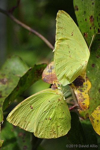 Pair Cloudless Sulphur Phoebis sennae Jefferson County Monticello Florida Americana Collection