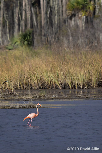 Habitat Phoenicopteridae Phoenicopterus ruber American Flamingo St Marks National Wildlife Refuge Florida Americana Collection