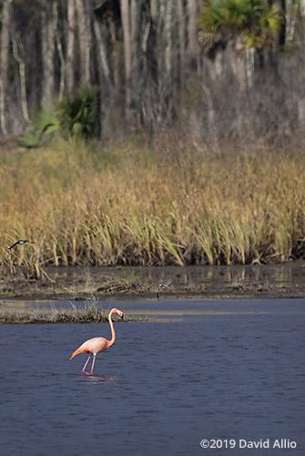 Habitat Phoenicopteridae Phoenicopterus ruber American Flamingo St Marks National Wildlife Refuge Florida Americana Collection