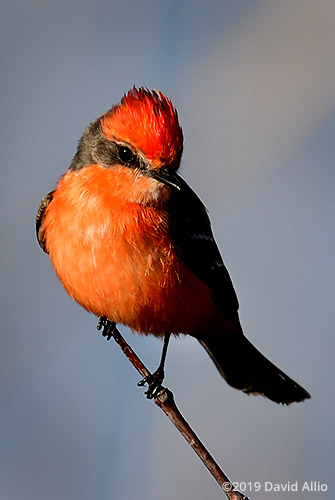 Perch non-breeding male Tyrannidae Pyrocephalus rubinus Vermilion Flycatcher St Marks National Wildlife Refuge Florida Americana Collection
