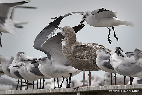 Herring Gull Larus argentatus and Laughing Gull Leucophaeus atricilla non-breeding adult not practicing social physical distancing Dekle Beach Florida 2019