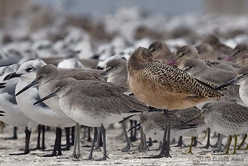 Marbled Godwit Limosa fedoa not practicing social physical distancing Dekle Beach Florida 2019
