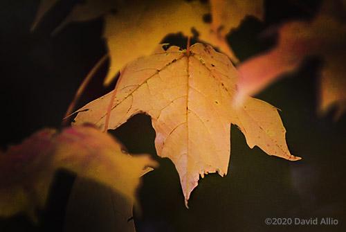 Autumn Rust Aceraceae Acer saccharum Sugar Maple Fountain County Veedersburg Indiana Americana Collection