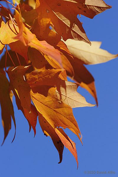 Autumn Rust Fire in the Sky Aceraceae Acer saccharum Sugar Maple Veedersburg Indiana Americana Collection